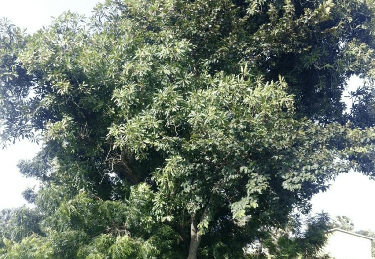 arbre de karité bio par nature