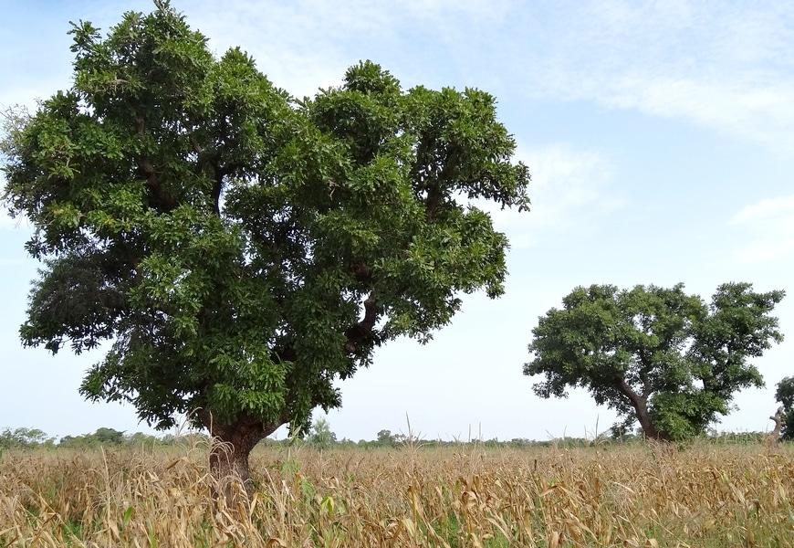 arbre de karité karethic