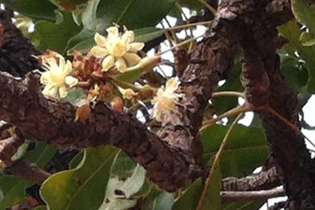 fleur de karité karethic